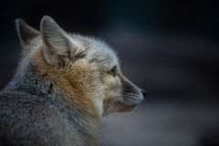 Cute valpes corsac(fox) Royalty Free Stock Photography
