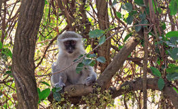 Cute Vervet Monkey posing on a tree with Victoria Falls in the background Royalty Free Stock Image