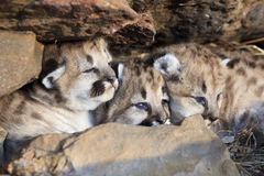 We are so so cute. Very cute mountain lion cubs in den with big blue eyes Royalty Free Stock Image