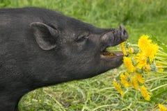 Cute Vietnamese Pig Eating Dangeliond Stock Image