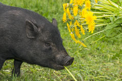 A cute vietnamese pig Stock Images