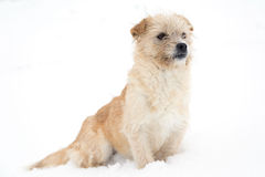 Cute, vigilant dog. Cute, sleepy dog sitting in snow Royalty Free Stock Images