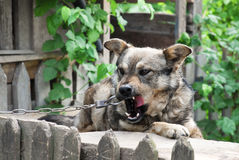 Cute village watchdog Stock Photo