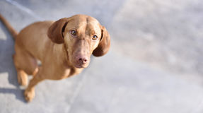 Cute Viszla dog on a stone floor Stock Photos