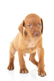 Cute viszla puppy dog standing and walking. On white background in studio Royalty Free Stock Photo