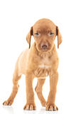 Cute viszla puppy dog standing. On white background and looks at the camera Royalty Free Stock Images
