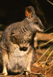 Cute Wallaby Stock Photography
