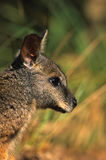 Cute Wallaby Portrait Royalty Free Stock Photography
