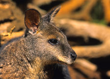 Cute Wallaby Portrait Royalty Free Stock Photo