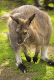 Cute wallaby Royalty Free Stock Photo