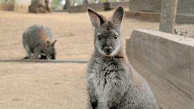 Cute wallaby staring with confused face. There are 2 wallabies in the photo Stock Photography
