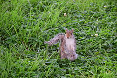 Cute Watchful Squirrel Standing Upright in Green Grass and Flowers Stock Image