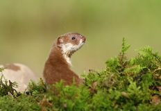 Cute weasel Royalty Free Stock Photos