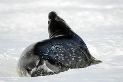 Cute Weddell seal baby. A Weddell seal baby looking up to the photographer Stock Images