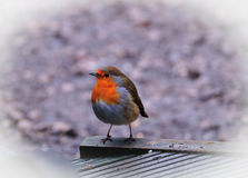 A cute wee Robin. Royalty Free Stock Photo