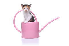 Cute 3 week old Baby Kitten in a Garden Watering Can Royalty Free Stock Photography