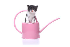 Cute 3 week old Baby Kitten in a Garden Watering Can Stock Image