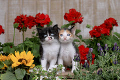 Cute 3 week old Baby Kittens in a Garden Setting Royalty Free Stock Photography