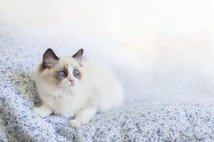 Ragdoll kitten royalty free stock photography