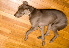 Cute weimaraner dog Royalty Free Stock Photos