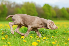 Cute Weimaraner puppy in a dandelion meadow Royalty Free Stock Photography