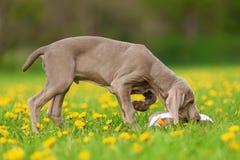 Cute Weimaraner puppy in a dandelion meadow Royalty Free Stock Image