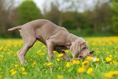 Cute Weimaraner puppy in a dandelion meadow Stock Image