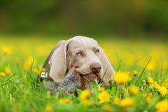 Cute Weimaraner puppy in a dandelion meadow Royalty Free Stock Photo