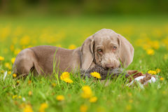 Cute Weimaraner puppy playing with a plushie Stock Photography