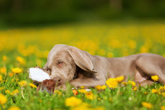 Cute Weimaraner puppy playing with a plushie Royalty Free Stock Images