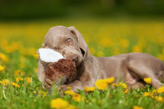 Cute Weimaraner puppy playing with a plushie Stock Images