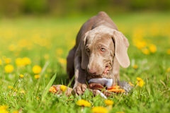 Cute Weimaraner puppy plays with a plushie Stock Image