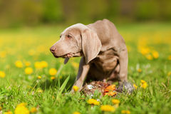 Cute Weimaraner puppy plays with a plushie Royalty Free Stock Photography