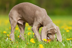 Cute Weimaraner puppy plays with a plushie Royalty Free Stock Photos