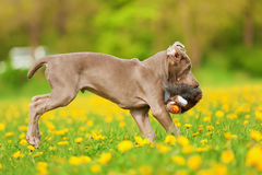 Cute Weimaraner puppy runs with a plushie Royalty Free Stock Photography