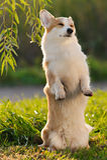Cute welsh corgi dog trick Stock Images
