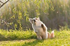 Cute welsh corgi dog trick Royalty Free Stock Photography