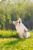 Cute welsh corgi dog trick Royalty Free Stock Photos