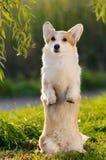Cute welsh corgi dog trick Stock Photos