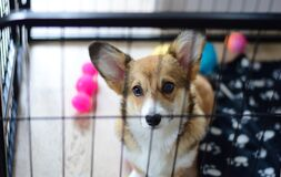 Free Cute Welsh Corgi Pembroke Puppy Dog In A Crate Training Sitting Stock Images - 180856604