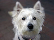 Cute West Highland Terrier looking at camera Stock Photo
