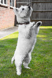 Cute West highland terrier standing on its back legs Stock Images