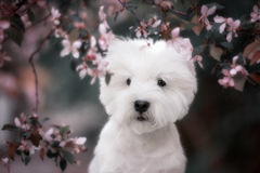 Cute West highland white Terrier in a lush Park. The pink trees royalty free stock images
