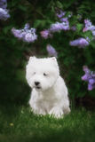 Cute West highland white Terrier in a lush Park. The pink trees stock images