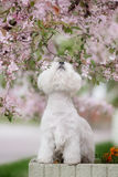 Cute West highland white Terrier in a lush Park. The pink trees royalty free stock image