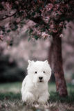 Cute West highland white Terrier in a lush Park. The pink trees stock photography