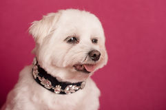 Cute West Highland White Terrier portrait Royalty Free Stock Image