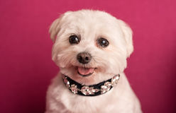 Cute West Highland White Terrier portrait Royalty Free Stock Photography