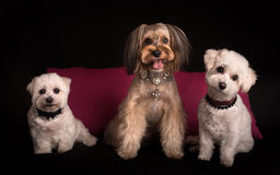Cute West Highland White Terrier sitting on black royalty free stock photo