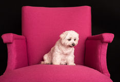 Cute West Highland White Terrier sitting on a pink armchairs royalty free stock image